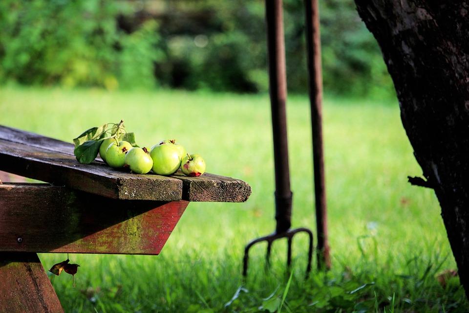 Obuolių surinkimas
